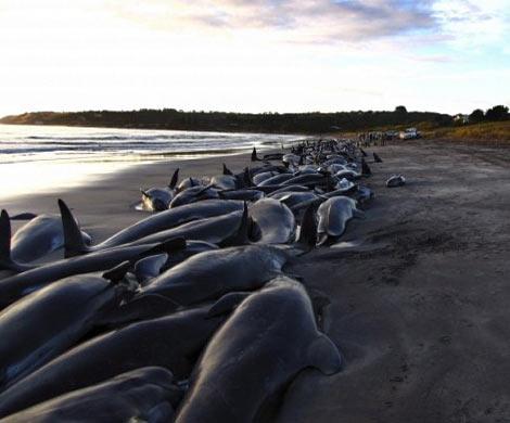 Пермские ученые пояснили, почему киты в новейшей Зеландии выбросились набе ...