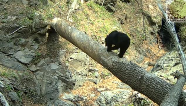 Любопытный медведь «настроил» фотоловушку в общегосударственном парке