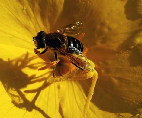 Минсельхоз не увидел рисков снижения урожайности из-за гибели пчел
