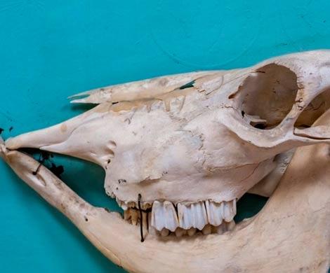 Обнаружены останки одного из крупнейших хищных млекопитающих на Земле