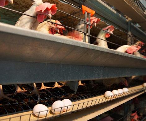 Птицеводам запретят кормить кур антибиотиками