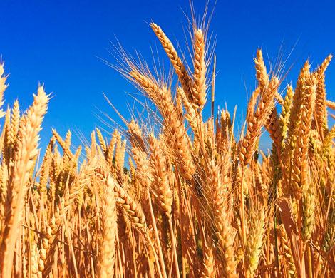 Россия сохранила лидерство по экспорту пшеницы