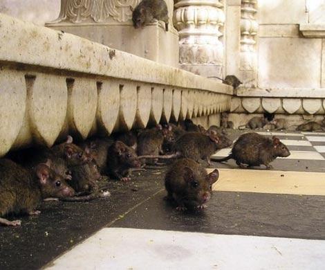 ВМосковском районе отыскали обглоданный крысами труп