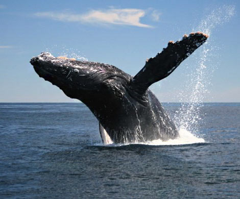 Ученые узнали, почему киты выпрыгивают изводы
