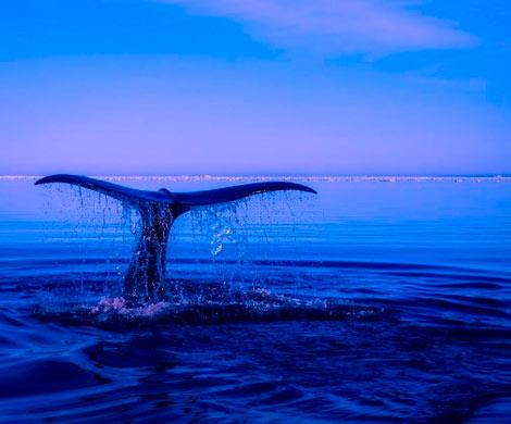 В Канаде с начала года обнаружили останки шести редких китов