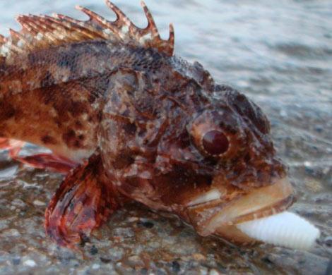 Ученые проверят сообщения омассовой смерти морских ершей вСевастополе