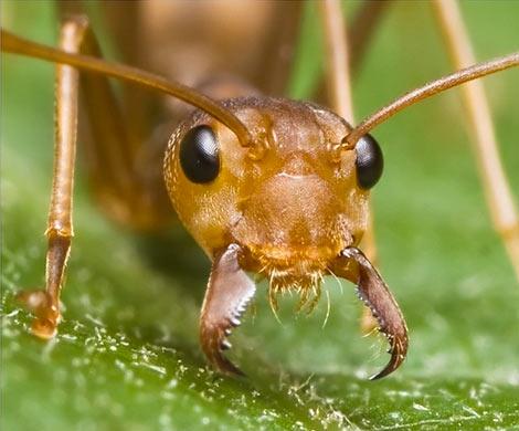 Ученые впервый раз создали генномодифицированных муравьев-социопатов