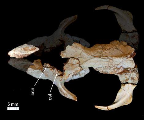ВТрансильвании отыскали неизвестного науке зверька смаленьким мозгом