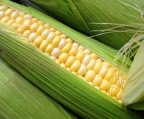 Во Франции запретили выращивание ГМО кукурузы, фото econet.kz